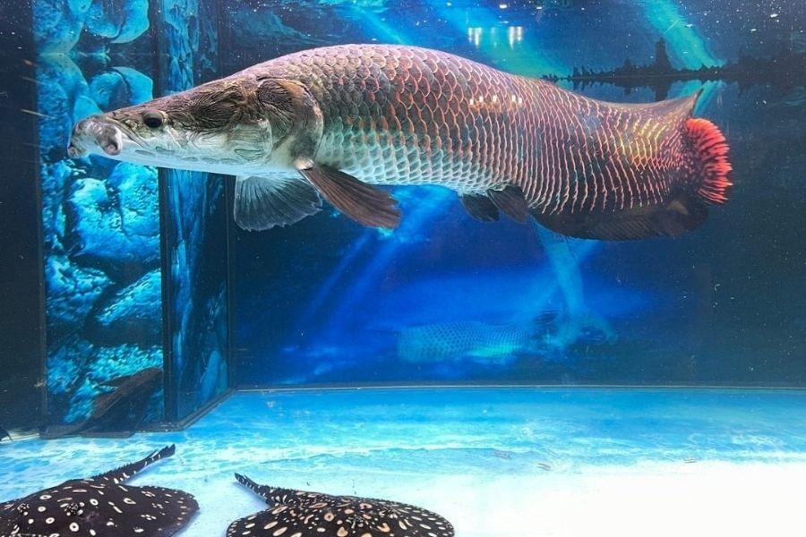 Cá Hải Tượng
